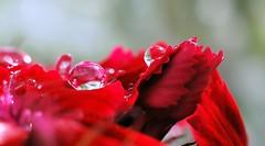 Gouttes sur oeillet de poête (GinOu Tchob.) Tags: nikonpassion nature macro gouttes bokeh rouge fleur 40mm