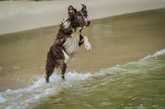 Kyra (mcvmjr1971) Tags: trilhandocomdidi 50mmf18d brasil d7000 diego outono bordercollie cachorro dog litoral mar mmoraes nikkor nikon niterói praiadeitaipu regiãooceânica riodejaneiro seaside