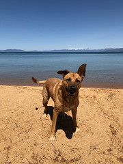 Wet dog (simonov) Tags: bella dog hund chien 狗 σκύλοσ madra cane 犬 perro 개 سگ собака الكلب germansheprador pyramid lake nevada