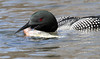 20180422-E7D_5324 (Brittany Rowan) Tags: april 2018 nature birds reinstein loon red breasted merganser fish coltsfoot barred owl best