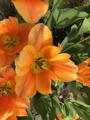 To me an unknown orange flower (jonarnefoss2013) Tags: norway tøyen botanicalgarden oslo iphoneonly iphonex
