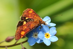 "Mint moth on ""forget-me-not"" (libra1054) Tags: mintmoth goldzünsler minzenmotte pyraustaaurata falena papillondenuit polilla nachtfalter macro nature 7dwf fauna"