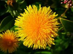 A flower of the common dandelion fully opened. (Bienenwabe) Tags: dandelion flower macro flowermacro spring springsflowers taraxacumofficinale taraxacum löwenzahn gemeinerlöwenzahn