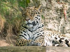 Zoo Salzburg (schasa68) Tags: olympus zoo tierpark austria salzburg raubtier fotowalk tierportrait animal tierwelt leopard tieraufnahme naturaleza