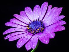 After the rain (grbush) Tags: lowkey macromonday macromondays flower rain osteospermum purple blue nature closeup macro sonyilce7 tamronaf90f28disp africandaisy droplet petal