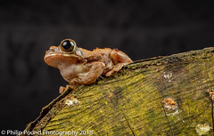 Peacock Tree Frog (Philip Pound Photography) Tags: frog treefrog peacock reptile amphibian tree