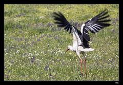 Cigüeña en Los Arenales (I N M A) Tags: aves cigüeñas