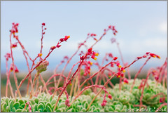 red.flower@succulent.plant.it (Rinaldofr) Tags: flowers red succulent plants green rose panorama bokeh sky