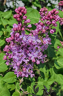 Lilac Opening