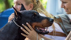 Gentle lad (zola.kovacsh) Tags: outdoor animal pet dog show exhibition dobermann doberman pinscher