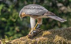 JWL3138  Sparrowhawk... (jefflack Wildlife&Nature) Tags: sparrowhawk hawk hawks hedgerows heathland raptors birdsofprey birds gardenbirds hunters wildlife wildbirds wetlands woodlands forest countryside copse glades nature powys ngc npc coth5
