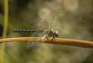 dragonfly 2006 09 17th Warnham & Pagham (69)