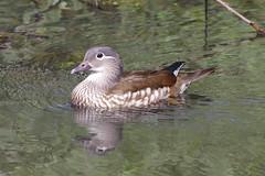 IMGP4956c Mandarin (f), Barnwell C.P., April 2018 (bobchappell55) Tags: barnwellcountrypark northamptonshire wild wildlife nature bird water duck mandarin aixgalericulata