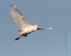 Cattle Egret (karenmelody) Tags: animal animals ardeidae bird birds bubulcusibis cattleegret egret egrets pelecaniformes smithoaksrookery texas usa vertebrate vertebrates easttexas