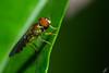 Grandes ojos (carlosbenju) Tags: naturaleza nature verde green macros macro macrofotografia macrodreams macrobug colores colors