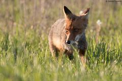 Red fox (uusija) Tags: redfox ruissalo vulpesvulpes kettu luonto mammalian nature nisäkkäät