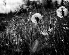 (ZinckPhotography) Tags: macro macromonday macrodreams macrophotography food black white blackandwhite panasonic close schwarzundweis flickr photography grey less macromondays dof picture texture bnw bw 50mm makro flower bandw