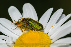 Private moment (ILO DESIGNS) Tags: 150mm 2018 cerocomaschaefferi coleóptero d3300 insecto macro madrid mayo naturaleza pradera verde scarab nature wildlife coleoptera insect insecta meadow field green color europe spain sigma15028 animal biodiversity biology