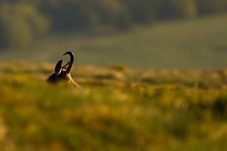 Chamois des Vosges face au lever du soleil