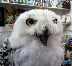 Elsa,the snowy owl (billnbenj) Tags: barrow cumbria owl raptor birdofprey snowyowl
