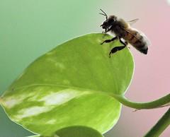 Bee On A Leaf (ACEZandEIGHTZ) Tags: pothos leaf closeup nikon d3200 bokeh apian honey apis millifera saariysqualitypictures coth alittlebeauty coth5 sunrays5 ngc
