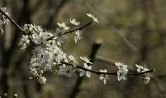 DSC02959 (simonbalk523) Tags: wildflowers white cherry sony nature