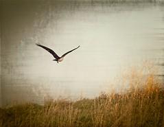 Osprey (mtmelody14) Tags: osprey