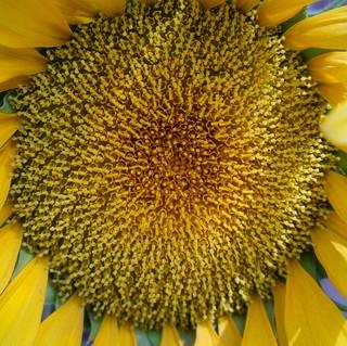 Sun flower zone