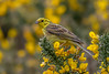 JWL1028  Yellowhammer.. (jefflack Wildlife&Nature) Tags: yellowhammer yammer birds avian animal animals wildlife wildbirds farmland fields heathland hedgerows countryside copse scrub woodlands nature finch finches