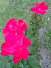 Trio Of Roses. (dccradio) Tags: lumberton nc northcarolina robesoncounty flower floral rose roses greenery grass yard lawn beauty pink pinkrose flowers nature rosebush leaf leaves foliage sony cybershot dscw830 outside outdoors natural plant
