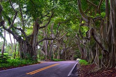 Bent Banyan Way (ott.geoffrey) Tags: bentbanyanway stuart florida tree banyan vines roots branches road street path treetunnel tunnel plant