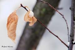 Feuille d'automne ... d'avril en hiver! / Autumn leave...on a cold spring day! (Pentax_clic) Tags: imgp4525 avril 2018 feuille neige pentax kr robert warren vaudreuil quebec