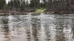 Video: Nala swimming Burney Creek, Shasta County, CA (Nancy D. Brown) Tags: nala shastacounty labradorretriever burneycreek california northerncalifornia dog retriever travel
