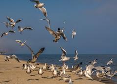 catching the bread - Fang das Brot (ralfkai41) Tags: füttern möwen meer nature vögel fighting tiere sea fressen seagulls beach strand animals kämpfen birds natur