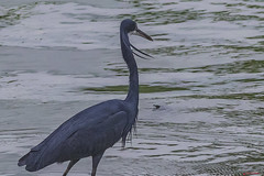 CLOSEUP  -  AIRONE BLU    ----    BLUE HERON (Ezio Donati is ) Tags: natura nature animali animals uccelli birds acqua water paludi swamps africa costadavorio yamoussoukroarea des lacs