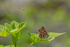 Opposites don't always attract (Paul Wrights Reserved) Tags: bug bugs insect insects inflight infocus outoffocus outdoor beautiful bokeh bokehphotography botanical flying flyinginsect wings movement motion moving leaf leaves eyes pattern flight