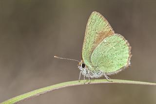 Callophrys rubi