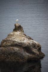 21708-point lobos egret (oliver.dodd) Tags: california pointlobos park egret bird