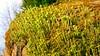 So many treasures, sigh (evakongshavn) Tags: blahblahscape green moss natur nature evathrilled tiny tinytreasures tinytreasuresinflora flora macrounlimited macroshot macro makro makroaufnahmen lav mose trompetlav 7dwf
