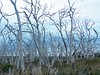 Long after the bush fire has passed ? That was my first thought! (PsJeremy - back and catching up...) Tags: gumtrees barebranches deadtrees mannagums otway victoria