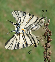 Iphiclides podalirius (xulescu_g) Tags: butterfly insect lepidoptera schmetterling fluture