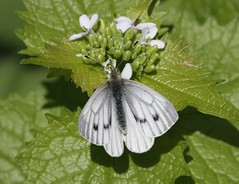 Green-veined white butterfly on nettle (Paul Cottis) Tags: paulcottis uk 25 april 2018 butterfly insect