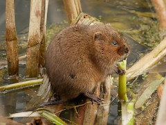 Water vole (PhotoLoonie) Tags: watervole vole animal mammal wildanimal rodent wildlife nature canal britishwildlife