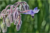 La Borragine , il fore stellato dell'armonia ... (miriam ulivi - OFF /ON) Tags: miriamulivi nikond7200 fiori flowers wildflowers fiorispontanei boragoofficinalis borragine nature macro pianta