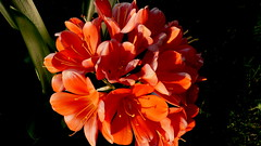 Kliwia o zachodzie słońca. (andrzejskałuba) Tags: polska poland pieszyce dolnyśląsk silesia sudety europe panasoniclumixfz200 roślina plant kwiat flower kliwia clivia orange pomarańczowy zieleń green garden ogród natura nature zachódsłońca sunset macro wiosna spring 100v10f