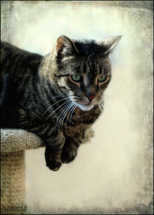 My Andrew... (angelakanner) Tags: canon70d yongnuo 50mm camellia cat pet fur tabby loveable
