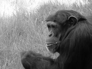 Leipzig Zoo / Schimpansen
