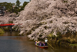 Cherry blossoms in full bloom on a fine day (1)