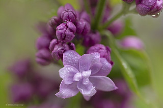 Lilac-scented quietude