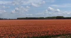 Foto Roel van Deursen Bollenpracht Goeree Overflakkee - Oude Tonge 2018-04-23 (21) (Roel van Deursen) Tags: tulpen vol bloei op goereeoverflakkee 2018